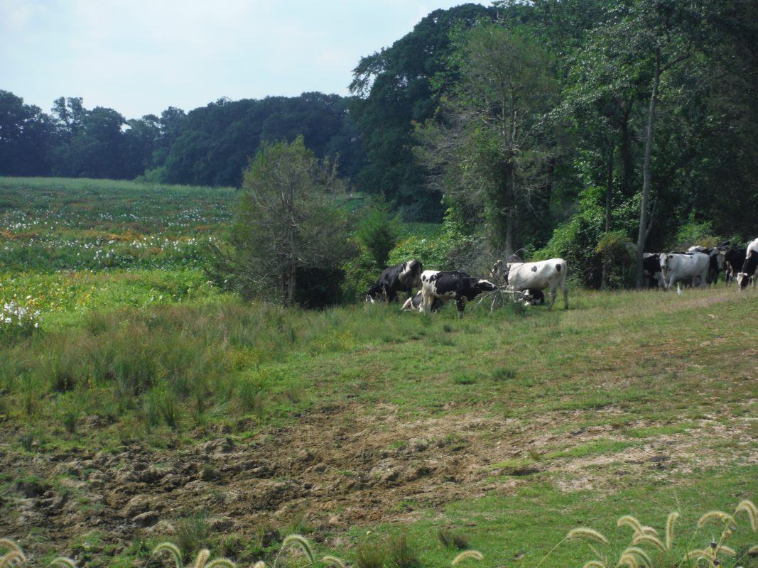 Mannington Meadow with cows grazing